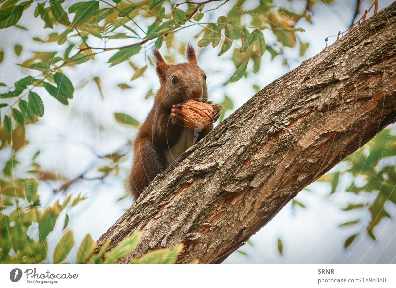 Squirrel with Walnut Eating Nature Animal Tree Forest Wild animal 1 Sit Appetite walnut bough branch Rodent tree squirrel small animal Mammal eat fauna Hold