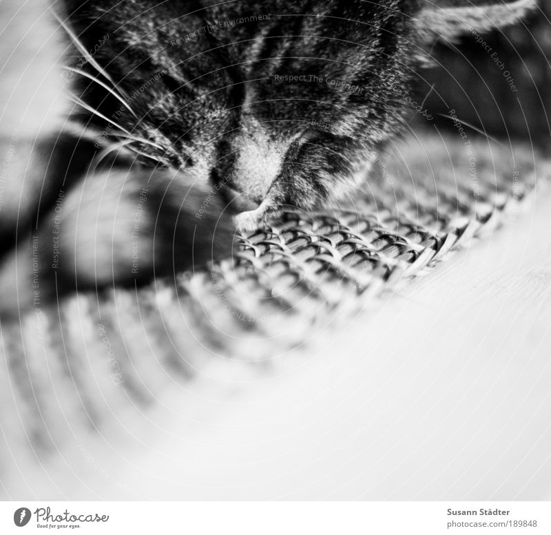recreation Animal Pet Cat Pelt Claw 1 Lie Sleep Dream Living or residing Cat's head Tabby cat Tiger skin pattern Love of animals Moustache hair Old