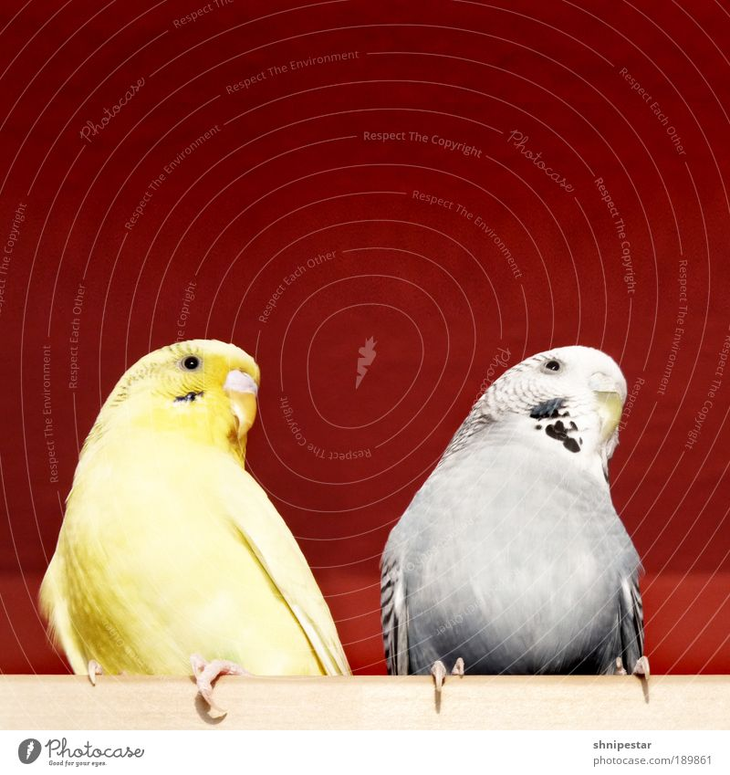 The Twitterlings Wallpaper Kitchen Animal Pet Bird Wing Claw Budgerigar Parakeet 2 Pair of animals Rutting season To feed Looking Sit Fat Exotic Free Warmth