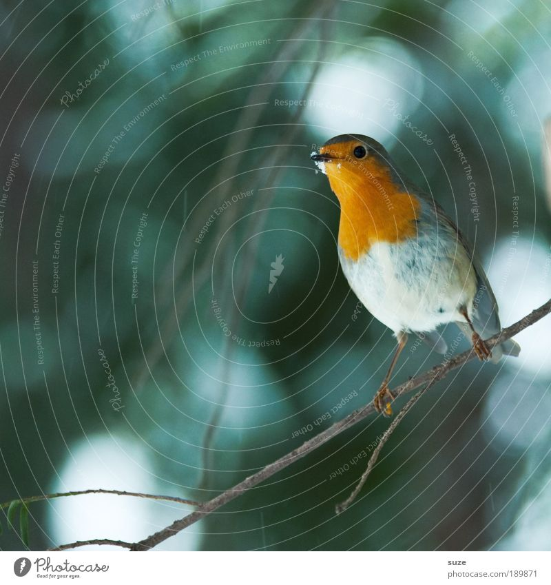 robin Winter Nature Animal Tree Wild animal Bird 1 Feeding Sit Wait Small Cute Green Red Robin redbreast Song Neck Songbirds Twig Beak Ornithology Sing