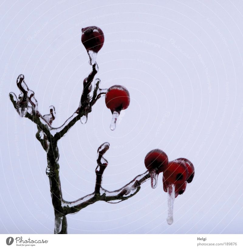 apple ice cream Environment Nature Plant Sky Winter Climate Ice Frost Tree Twig Branch Freeze Hang Esthetic Exceptional Dark Beautiful Cold Small Natural Brown