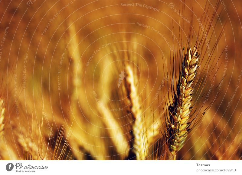 Nature Plant Yellow Field Gold Grain Mature Cornfield Agricultural crop Grain field Rye Environment Rye field Warm colour Rye ear