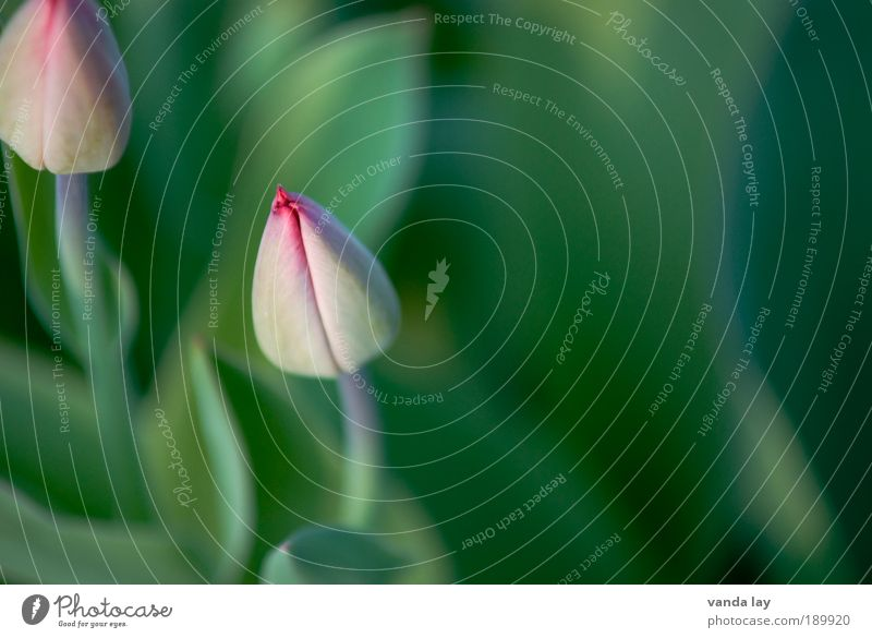 Spring can come Environment Nature Plant Flower Pure Green Pink Tulip Spring flowering plant Closed Bud March April May Neutral Background Colour photo