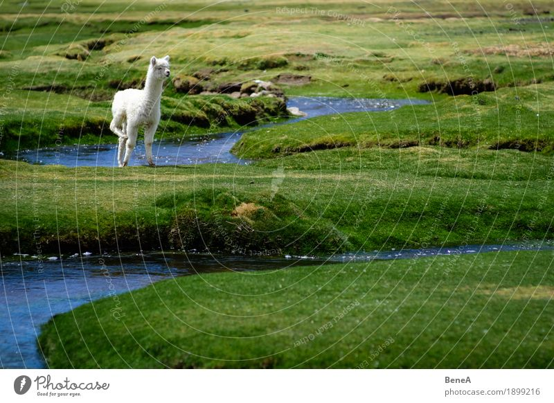 Baby alpaca stands in green meadows landscape at stream Nature Idyll Environment Alpaca Andes Animal Bolivia Brook Curiosity Grass Grassland Landscape