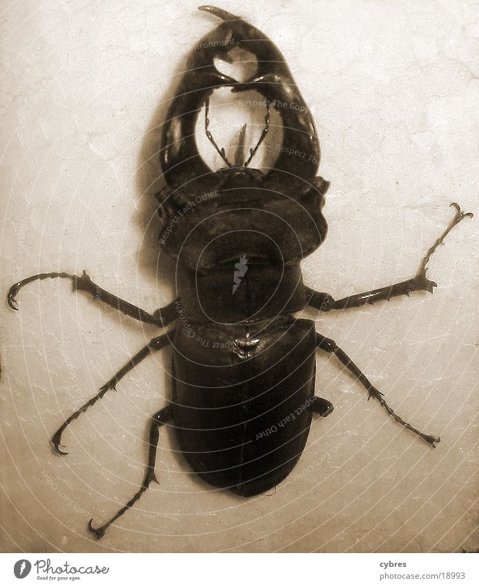 stag beetle Stag beetle Insect