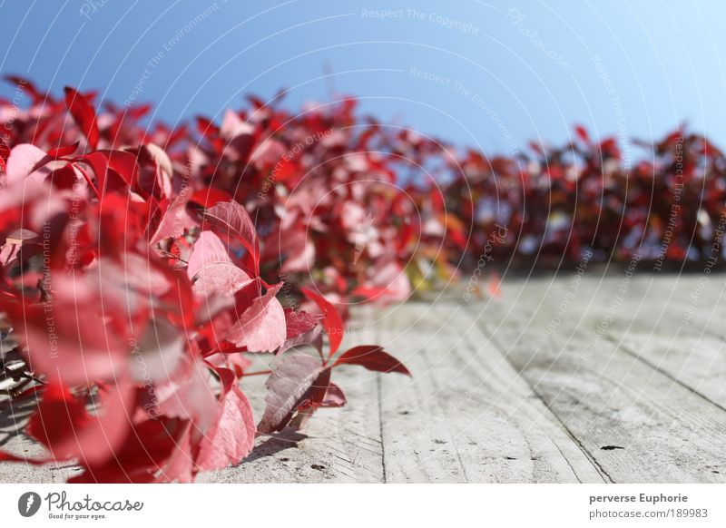 Red Passion Environment Nature Sky Cloudless sky Autumn Plant Leaf Wall (barrier) Wall (building) Facade Blue Gray Calm Worm's-eye view
