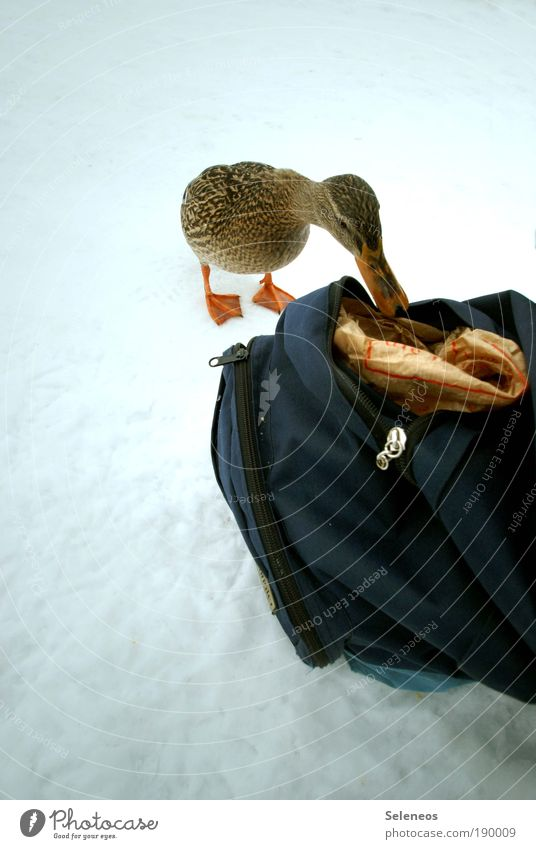 duck Winter Snow Environment Animal Weather Ice Frost Animal face Duck Backpack Discover To feed Feeding Cold Beak Colour photo Exterior shot Deserted