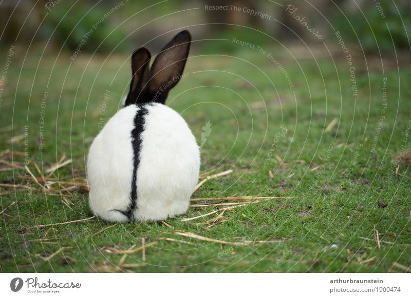 Rabbit with straw on a green meadow Food Meat Nutrition Organic produce Leisure and hobbies Garden Kitchen Agriculture Forestry Gastronomy Environment Nature