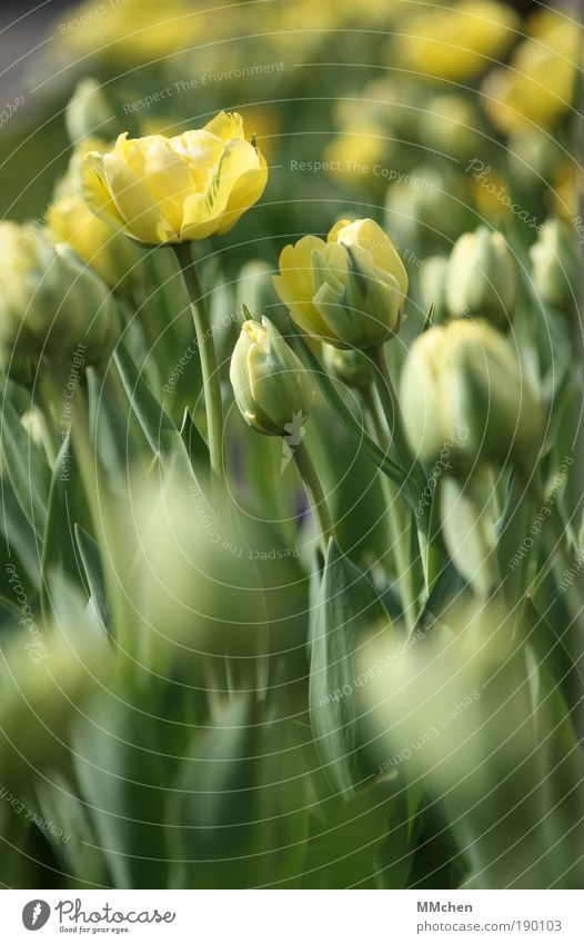 Nature Flower Green Plant Calm Leaf Yellow Blossom Park Environment Growth Simple Decoration Blossoming Fragrance Tulip