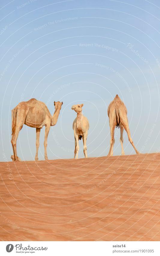 Camels, United Arab Emirates, Dubai, Abu Dhabi Dromedary Gulf state Exterior shot Deserted Animal Farm animal Dune Beach dune Sand Sun Tourism Cloudless sky