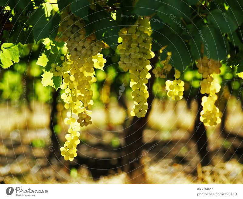 Wine Environment Nature Landscape Plant Elements Earth Air Summer Climate Weather Beautiful weather Warmth Leaf Agricultural crop Garden Field Exotic Fresh