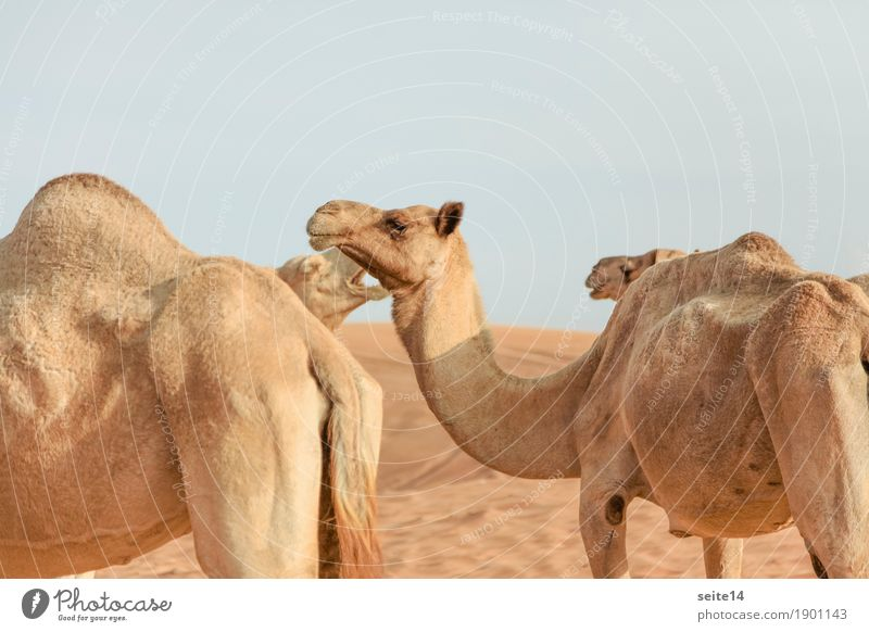 Camels, United Arab Emirates, Dubai, Abu Dhabi Dromedary Focus on the foreground Gulf states Horizontal Exterior shot Deserted Animal Farm animal Dune