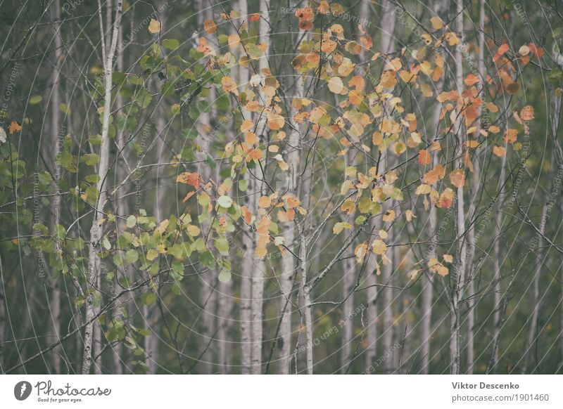 Autumn leaves on the thin trees Design Beautiful Art Environment Nature Landscape Plant Tree Leaf Park Forest Old Bright Natural Yellow Gold Red Colour fall