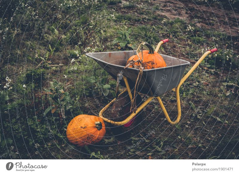 Pumkin harvest with a wheelbarrow Vegetable Fruit Garden Decoration Thanksgiving Hallowe'en Work and employment Gardening Tool Group Nature Plant Autumn Grass