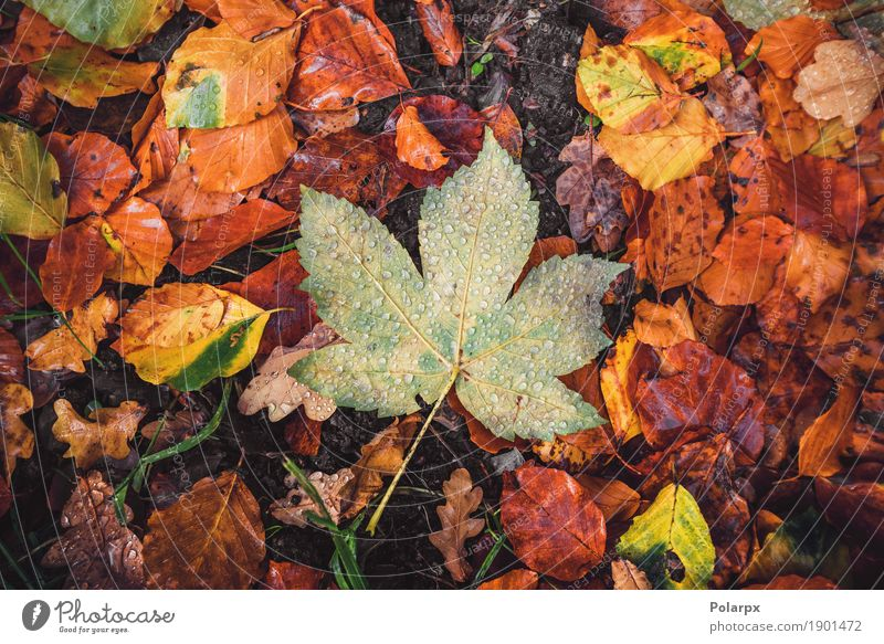 Autumn maple leaf in a forest Beautiful Sun Garden Decoration Environment Nature Landscape Plant Tree Leaf Park Forest Wet Natural Brown Yellow Gold Green Red