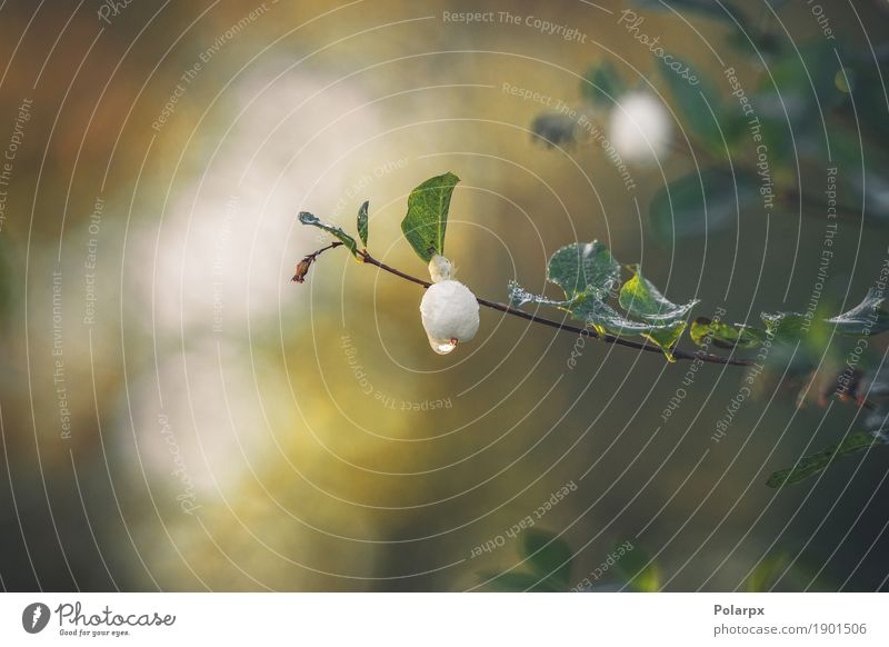 Snowberry hanging on a small twig with a droplet Nature Plant Green White Tree Leaf Forest Environment Autumn Natural Garden Fruit Park Weather Decoration