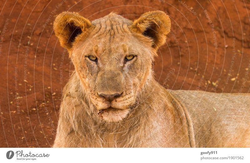 Bad look!!! Environment Nature Earth Sand Spring Summer Autumn Desert Africa Animal Wild animal Animal face Pelt Lion Lion's head 1 Stone Observe Relaxation Lie