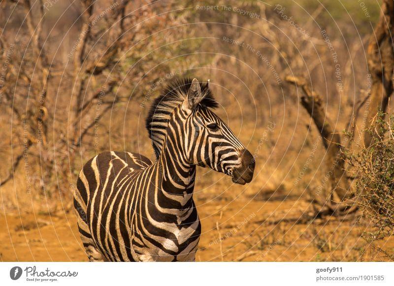 Zebra!!! Environment Nature Landscape Elements Earth Sand Spring Summer Autumn Warmth Drought Tree Desert Namibia Africa Animal Wild animal Animal face