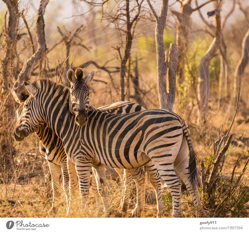 Cuddly!!! Environment Nature Elements Earth Sand Spring Summer Autumn Warmth Drought Tree Bushes Desert Africa Animal Wild animal Animal face Zebra