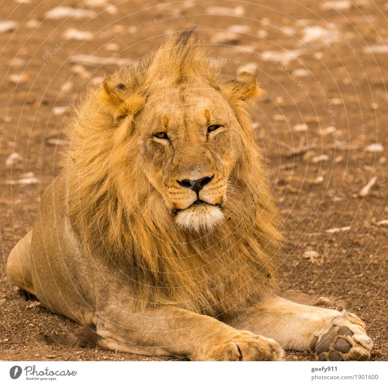 What do you want from me??? Environment Nature Landscape Earth Sand Spring Summer Autumn Warmth Drought Desert Africa Animal Wild animal Animal face Pelt Paw