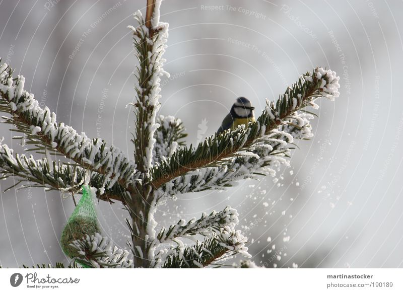 Blue Tit Freedom Nature Winter Snow Tree Animal Bird 1 Observe Sit Wait Cold Curiosity Cute Yellow Black White Birdseed Colour photo Exterior shot Day Snowfall
