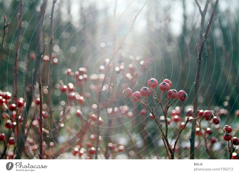 Plant Red Winter Forest Garden Park Glittering Growth Bushes Kitsch Blossoming Fragrance Freeze Berries Faded Clearing