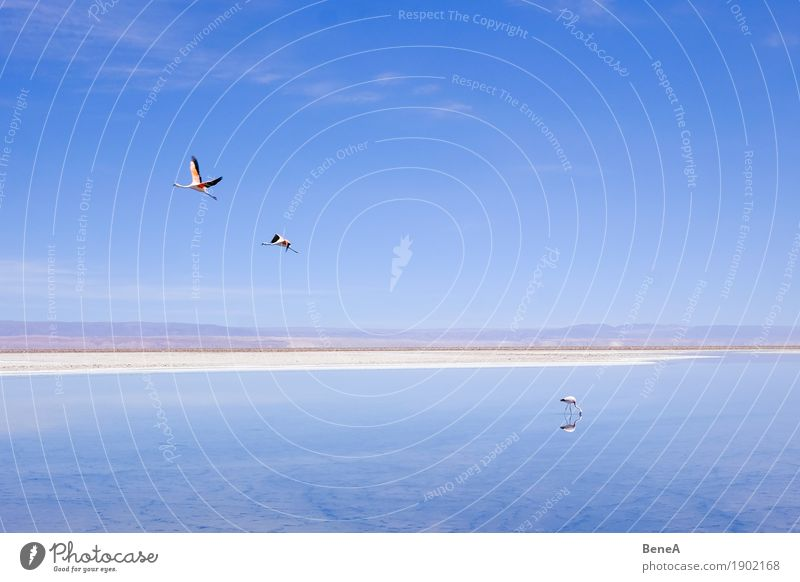Flamingos flying and standing at a salt lake in the Atacama Adventure Far-off places Safari Expedition Environment Nature Animal Water Sky Cloudless sky