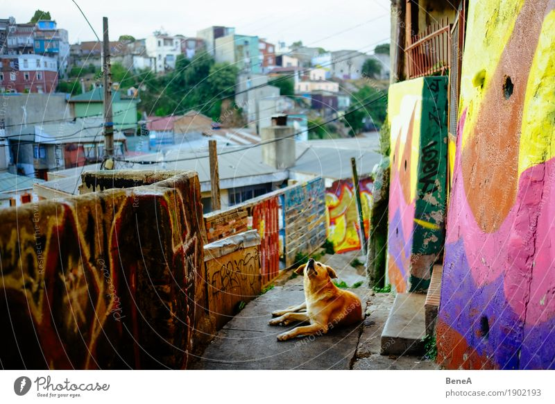 Dog lies in an alley with graffiti in Valparaiso, Chile Vacation & Travel Wall (barrier) Wall (building) Graffiti Lie Looking Nature Town Lanes & trails
