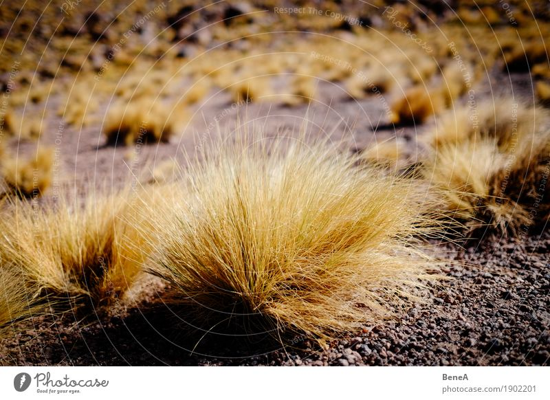 Grass grows on sandy ground in the desert Environment Nature Landscape Plant Bushes Moss Wild plant Exotic Hill Mountain Andes Volcano Desert Salar de Atacama