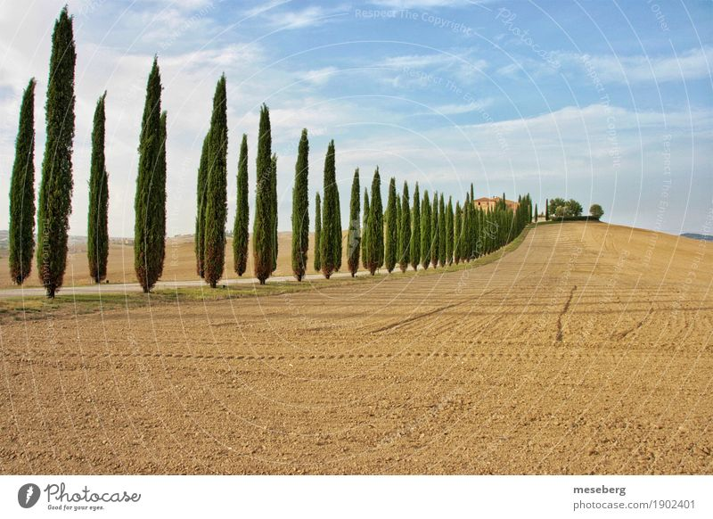 Cypresses in Tuscany Vacation & Travel Tourism Summer Summer vacation Agriculture Forestry Environment Nature Landscape Plant Earth Beautiful weather Tree Field