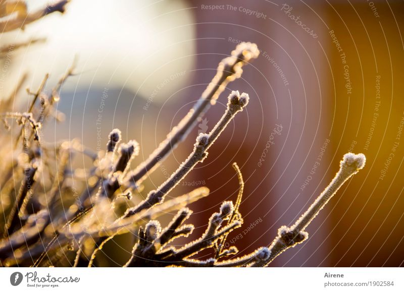Deep frozen Plant Sunlight Winter Beautiful weather Ice Frost Bushes Twigs and branches Garden Ice crystal Hoar frost Freeze Glittering Cold Positive Brown Gold