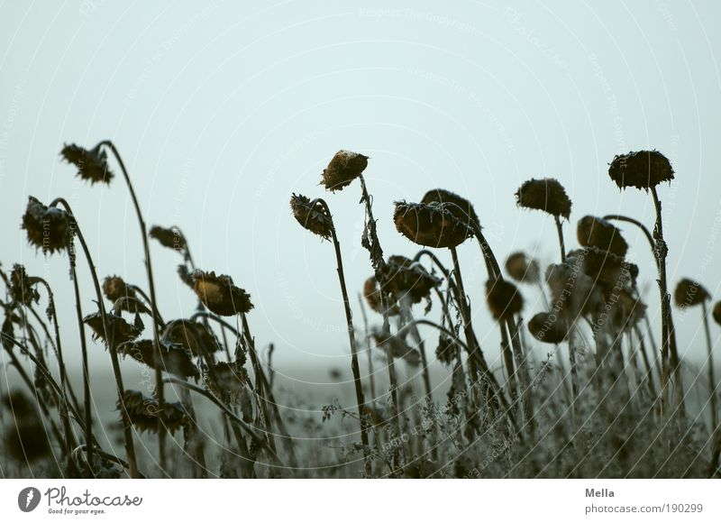 waiting Environment Nature Landscape Plant Sky Autumn Winter Climate Climate change Weather Flower Sunflower Field Old Faded To dry up Dark Cold Natural Gray