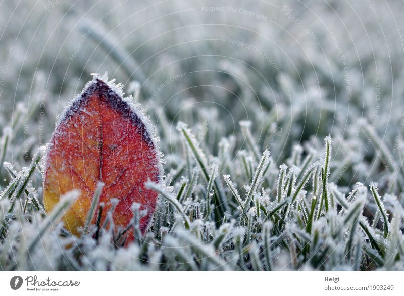 cold in Germany Environment Nature Plant Winter Ice Frost Grass Leaf Garden Freeze Stand To dry up Exceptional Beautiful Uniqueness Cold Natural Yellow Green