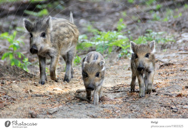 freedom ... savour Environment Nature Plant Animal Spring Beautiful weather Wild plant Forest Wild animal Wild boar Young boar 3 Movement Walking Looking