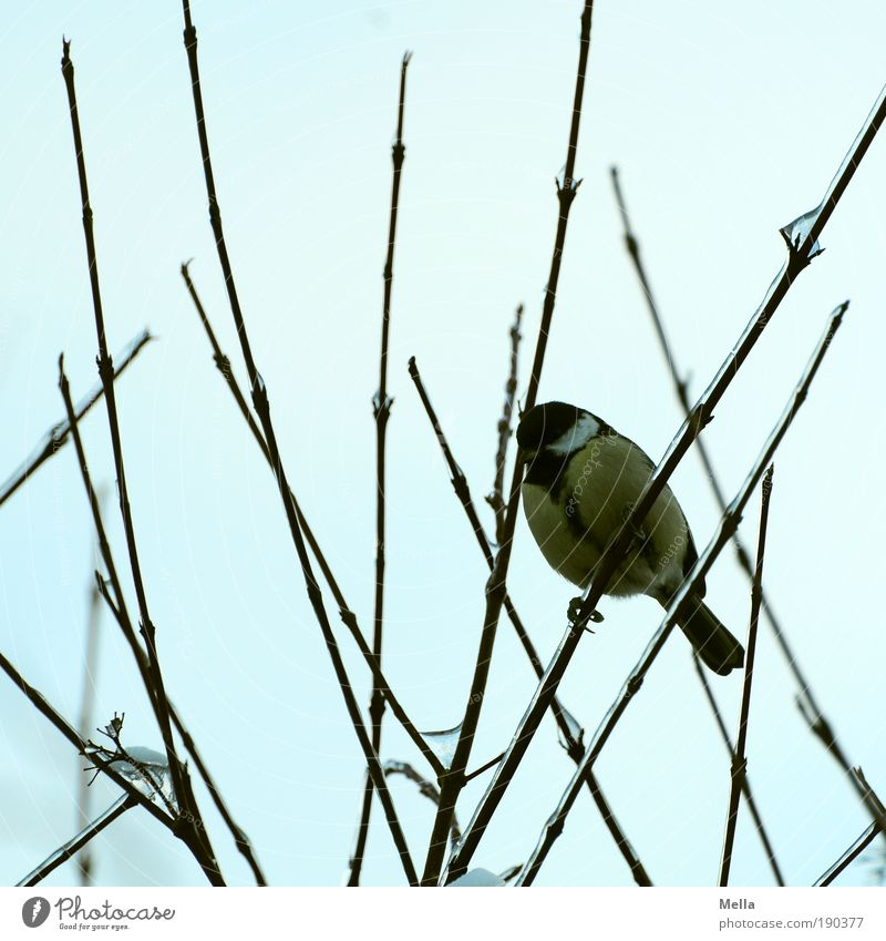 Tit winter 09/10 Environment Nature Animal Winter Plant Bushes Branch Bird Tit mouse Crouch Sit Free Cold Small Natural Curiosity Cute Moody Patient Calm Life