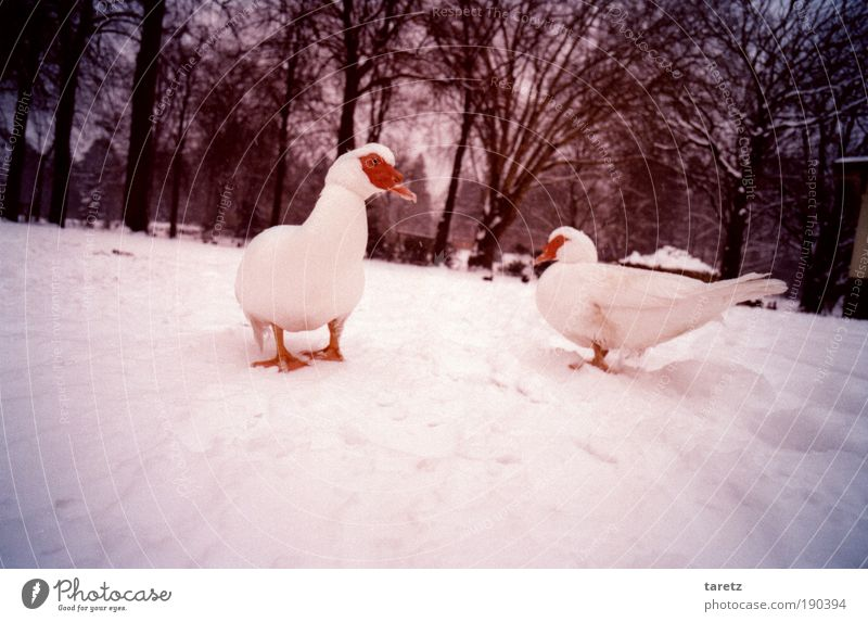 White warts ducks on a white background Environment Nature Winter Beautiful weather Ice Frost Snow Tree Park Wild animal Bird 2 Animal Simple Curiosity Violet