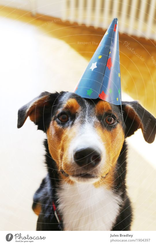 party dog Joy Party Feasts & Celebrations Birthday Hat Animal Dog Animal face 1 Looking Brown Multicoloured Black White Curiosity Colour photo Interior shot