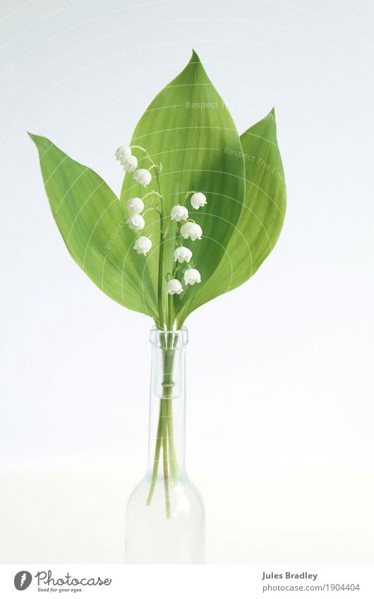 "lily of the valley Valentine's Day Mother's Day Plant Spring Flower Leaf Blossom ""Lily of the valley Bouquet Esthetic Elegant Bright Beautiful Green White Happy"