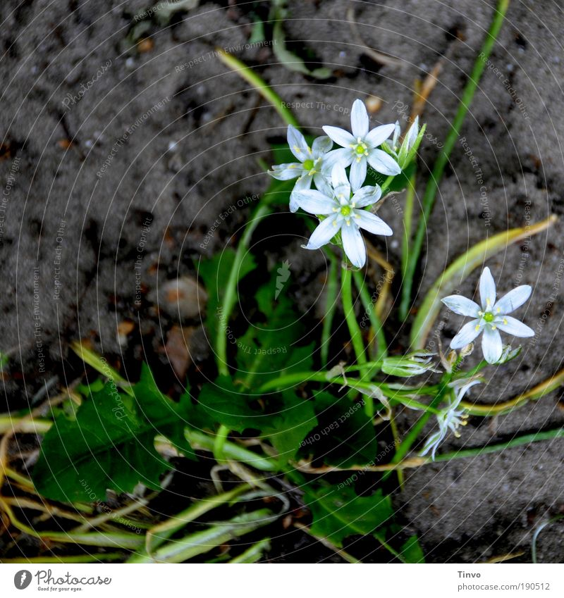 Nature White Flower Green Plant Dark Blossom Spring Small Wet Earth Star (Symbol) Growth Delicate Blossoming Dandelion