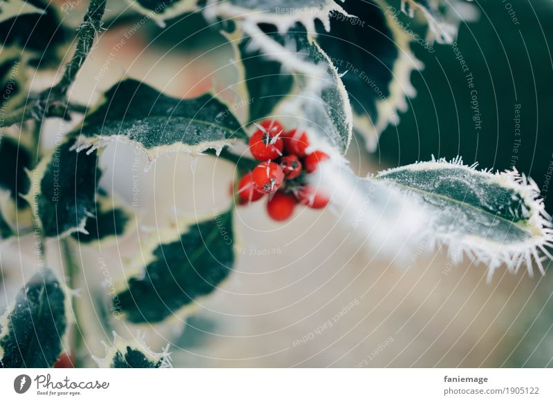 iced holly Nature Beautiful weather Ice Frost Snow Snowfall Esthetic Cold Ilex Holly leaf Berries Berry bushes Ice crystal Leaf Red Middle Green Prongs