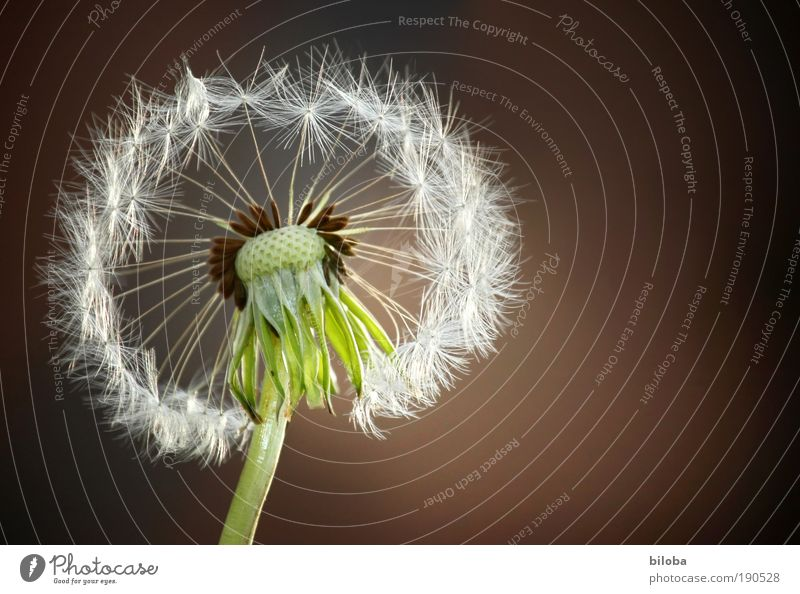 dandelion Environment Nature Plant Flower Blossom Wild plant Meadow Old Esthetic Natural Crazy Yellow Green Red White Seed Propagation Easy Fine Blown away