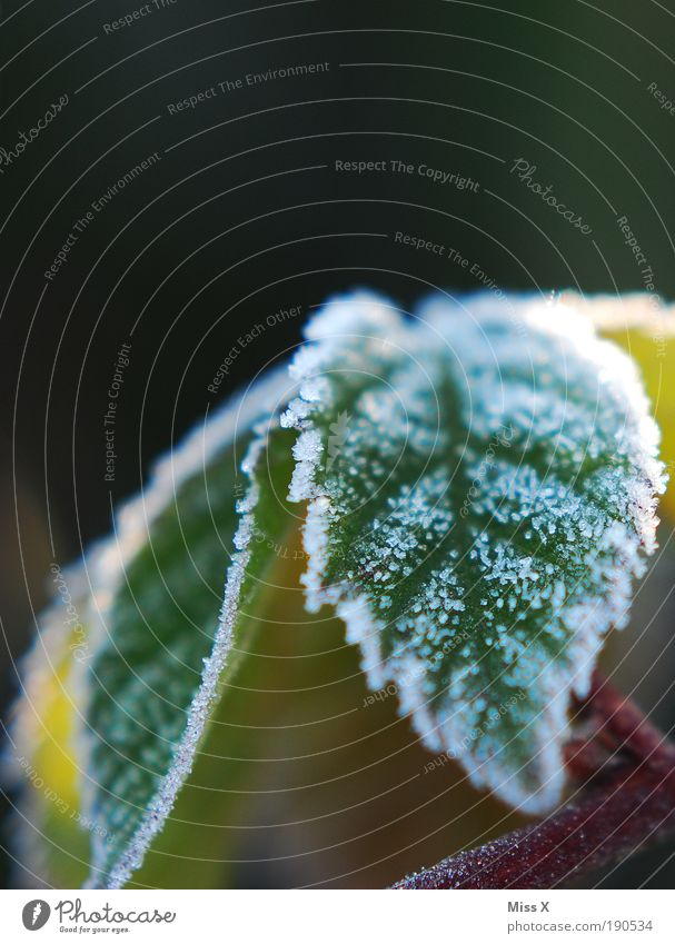sugar Nature Climate Weather Ice Frost Plant Bushes Leaf Foliage plant Park Cold Small Hoar frost Colour photo Exterior shot Close-up Macro (Extreme close-up)