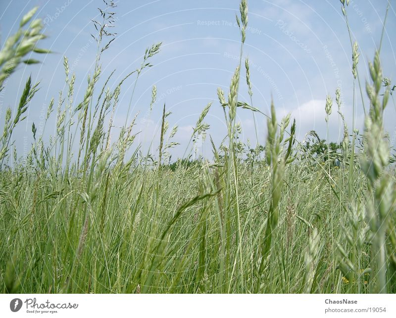 blue sky Wheat Clouds Grass Sky
