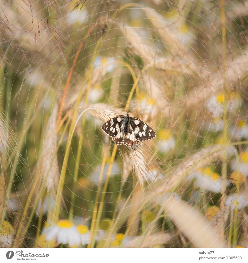 Nature Plant Summer White Flower Animal Environment Yellow Brown Field To enjoy Wing Beautiful weather Insect Butterfly Cornfield
