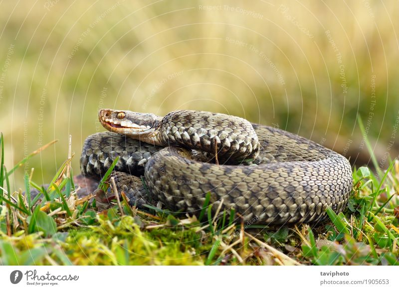 common european crossed viper basking on mountain meadow Woman Nature Green Beautiful Animal Mountain Adults Environment Meadow Natural Grass Brown Wild Fear