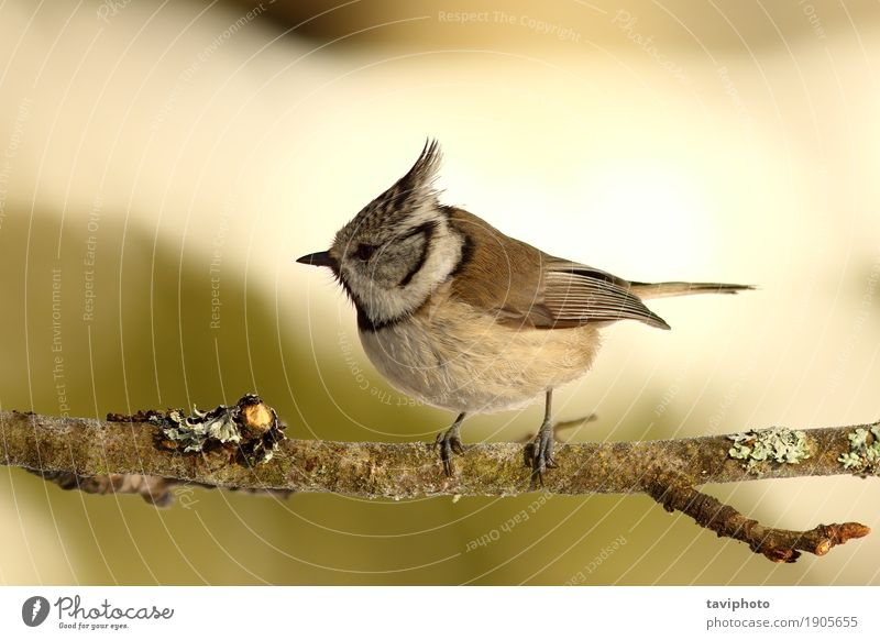 crested tit perched on small twig Nature Green Beautiful Tree Animal Forest Black Environment Natural Small Garden Bird Wild Sit Feather European