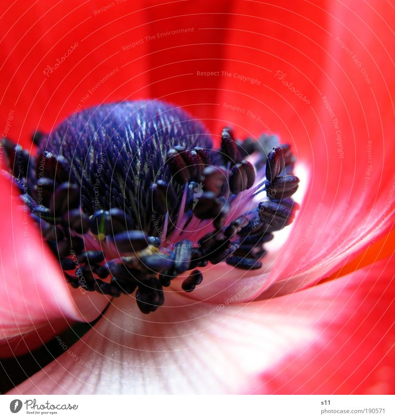 red anemone Environment Nature Plant Spring Beautiful weather Flower Park Esthetic Fresh Blue Red White Spring fever Colour Transience Blossom leave Pistil