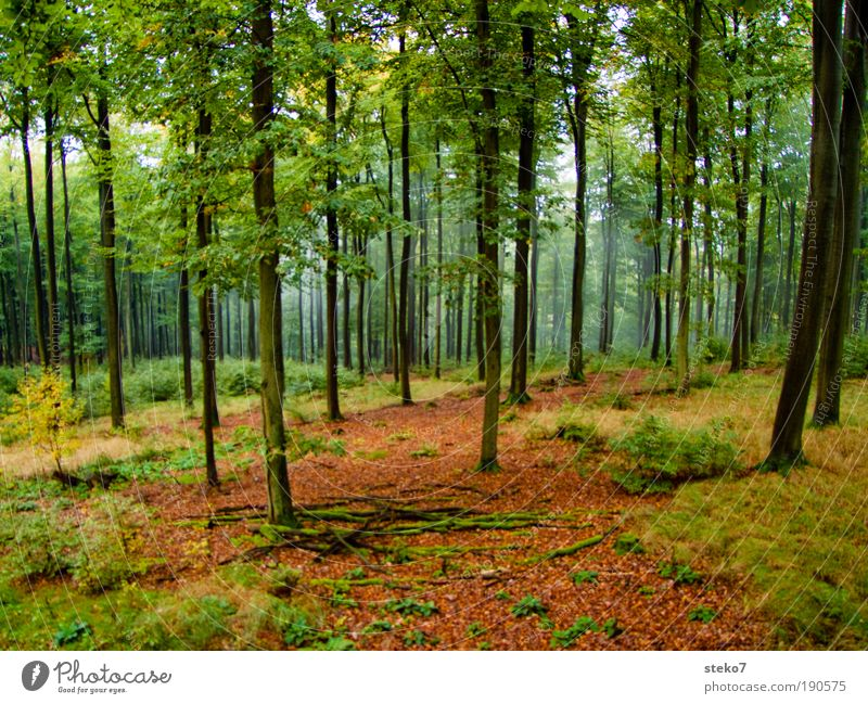 tall Autumn Fog Forest spessart Fresh Sustainability Natural Clean Beautiful Brown Yellow Green Fragrance Loneliness Environment Beech wood Misty atmosphere
