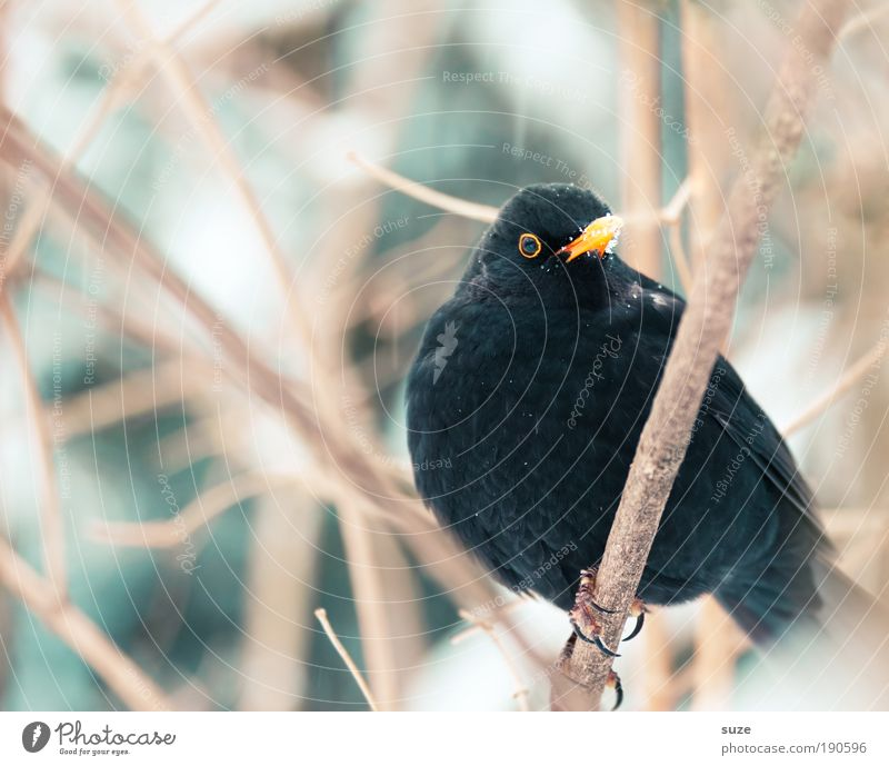 blackbird Environment Nature Plant Animal Winter Bushes Wild animal Bird 1 Sit Wait Authentic Cold Small Cute Black Blackbird Songbirds Twig Beak Ornithology