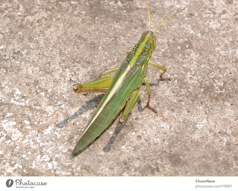 Green Animal Locust